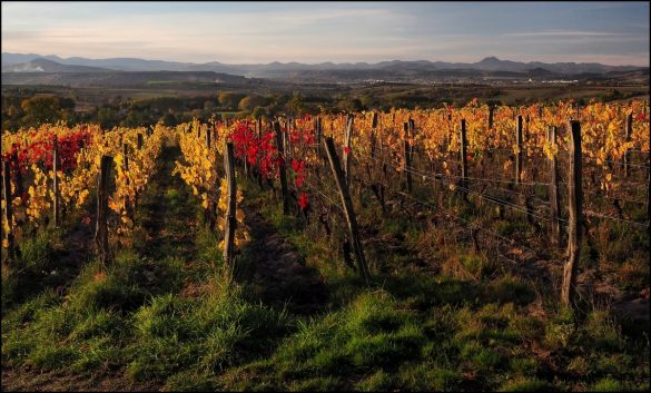 Vignes Toscane d'Auvergne jean claude millot